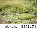 野生のキジ(メス) 3578174