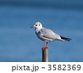 ユリカモメ 1羽 鳥の写真 3582369