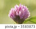 赤クローバー 紫詰草 ムラサキツメクサの写真 3583873