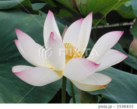 白地に桃色の蓮の写真素材 [3596835] - PIXTA