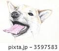 柴犬 3597583