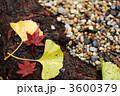 黄葉 イチョウ 銀杏の写真 3600379