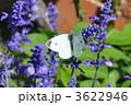 ブルーサルビア サルビア モンシロチョウの写真 3622946