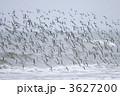 ミユビシギの群れ 3627200