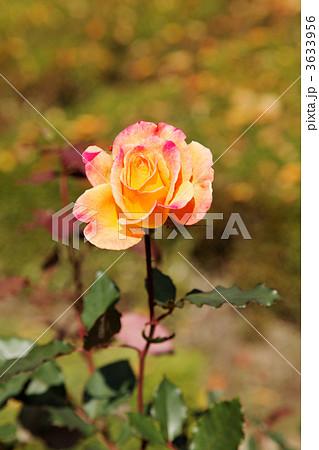 黄色からオレンジ・朱赤へ変化する薔薇の花・リオサンバ 3633956