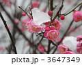 雪と花 桃の花 雪の写真 3647349