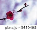 ウメ 梅の花 紅梅の写真 3650498