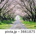 桜並木 並木道 桜のトンネルの写真 3661875
