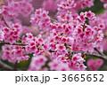 寒緋桜 ヒカンザクラ 緋寒桜の写真 3665652