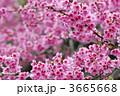寒緋桜 ヒカンザクラ 緋寒桜の写真 3665668