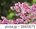 寒緋桜 ヒカンザクラ 緋寒桜の写真 3665675