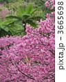 寒緋桜 ヒカンザクラ 緋寒桜の写真 3665698