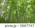 ブナ ぶな 森林の写真 3667747