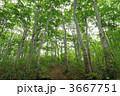 森林 ブナ ぶなの写真 3667751