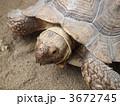 ガラパゴスゾウガメ リクガメ ゾウガメの写真 3672745