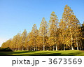 プラタナス スズカケノキ 紅葉の写真 3673569