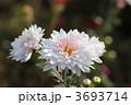 きくの花 キクの花 菊の花の写真 3693714