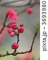 花桃 鮮やかな紅色 微かな甘い香りが・・・ 3693980