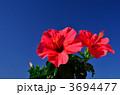 ハイビスカス 晴れ 青空の写真 3694477