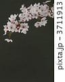 桜 3711913