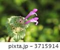 赤紫のホトケノザ 3715914