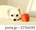 ミックス犬 室内犬 小犬の写真 3734295