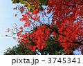 ハゼ ハゼノキ 櫨の木の写真 3745341