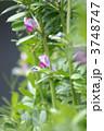 ヤハズエンドウ 烏野豌豆 矢筈豌豆の写真 3748747