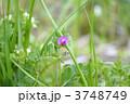 ヤハズエンドウ 烏野豌豆 矢筈豌豆の写真 3748749