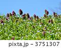 姫踊子草 ヒメオドリコソウ 野の花の写真 3751307