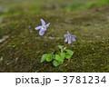 スミレ タチツボスミレ 立坪菫の写真 3781234