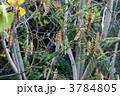 ねむのき 合歓の木 ねむの木の写真 3784805