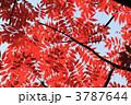 ハゼ ハゼノキ 櫨の木の写真 3787644