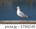 ユリカモメ 渡り鳥 百合鴎の写真 3789246