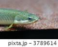 ポリプテルス・セネガルス 古代魚 淡水魚の写真 3789614