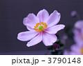秋明菊 3790148