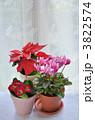 シクラメン ポインセチア 花の写真 3822574