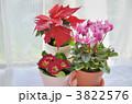 シクラメン ポインセチア プリムラの写真 3822576