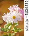 菊の花 キクの花 きくの花の写真 3829839