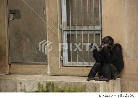 アンニュイなチンパンジー 3852556