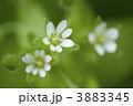 ハコベ 花 野草の写真 3883345