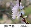 十月桜 ジュウガツザクラ じゅうがつざくらの写真 3906682