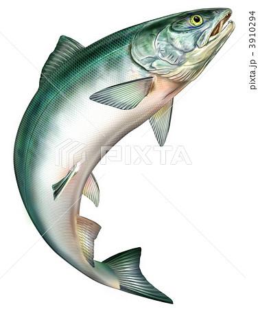 鮭のイラスト素材 [3910294] - PIXTA : 魚イラスト 無料 ダウンロード : イラスト