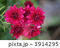 菊の花 キクの花 きくの花の写真 3914295