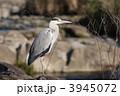 蒼鷺 アオサギ 野鳥の写真 3945072