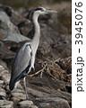 蒼鷺 アオサギ 野鳥の写真 3945076