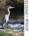 蒼鷺 アオサギ 野鳥の写真 3945078