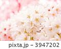 4月 花 春の写真 3947202