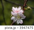 十月桜 ジュウガツザクラ じゅうがつざくらの写真 3947475