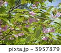 八重咲き 八重桜 ヤエザクラの写真 3957879